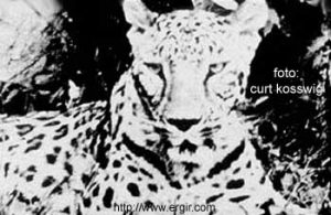 Kosswig panther