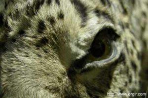 Panther eye