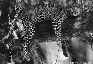 African panther